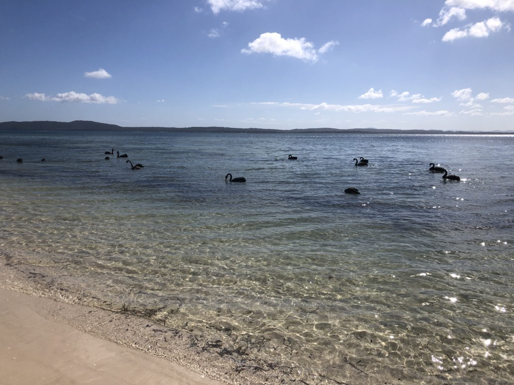 Black Swans at dog friendly Bagnall's Beach Nelson Bay NSW